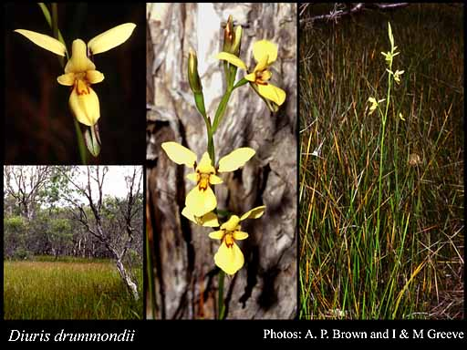Photo of Diuris drummondii Lindl.