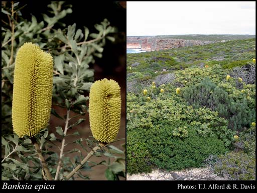 Photo of Banksia epica A.S.George