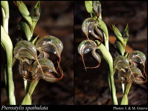 Photo of Pterostylis spathulata M.A.Clem.