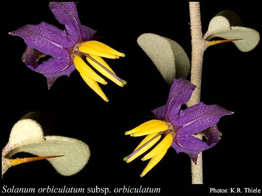 Photo of Solanum orbiculatum Poir. subsp. orbiculatum