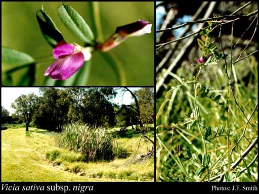Photo of Vicia sativa subsp. nigra (L.) Ehrh.