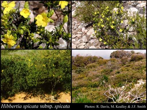 Photo of Hibbertia spicata F.Muell. subsp. spicata
