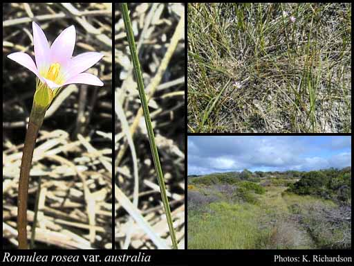 Photo of Romulea rosea var. australis (Ewart) M.P.de Vos