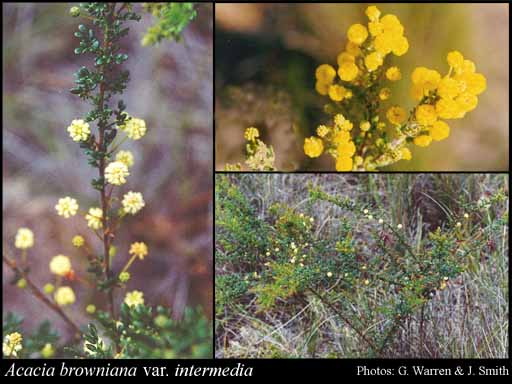 Photo of Acacia browniana var. intermedia (E.Pritz.) Maslin