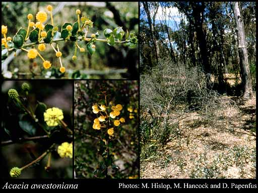 Photo of Acacia awestoniana R.S.Cowan & Maslin