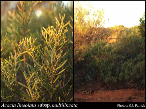 Photo of Acacia lineolata subsp. multilineata (W.Fitzg.) R.S.Cowan & Maslin