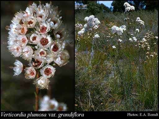 Photo of Verticordia plumosa var. grandiflora (Benth.) A.S.George