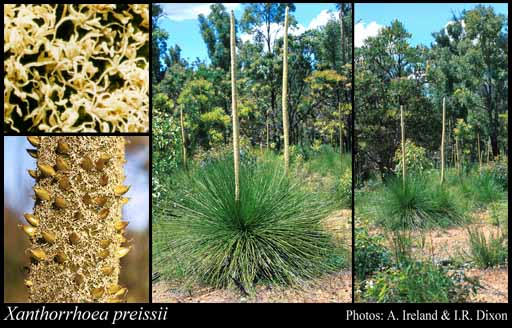 Photo of Xanthorrhoea preissii Endl.
