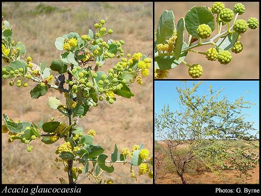 Photo of Acacia glaucocaesia Domin