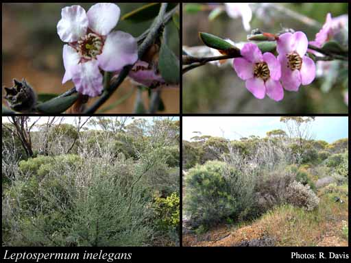 Photo of Leptospermum inelegans Joy Thomps.