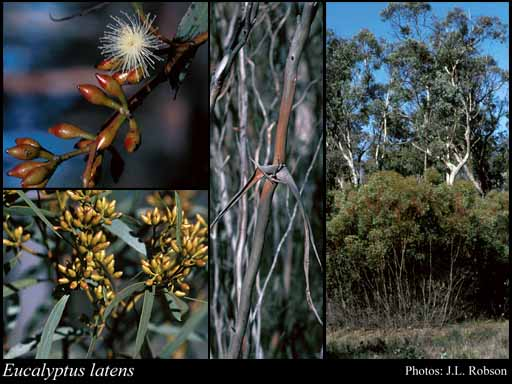 Photo of Eucalyptus latens Brooker