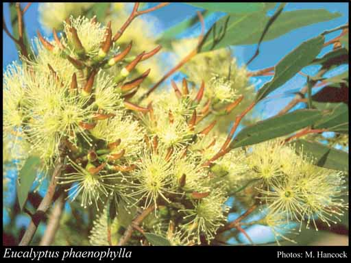 Photo of Eucalyptus phaenophylla Brooker & Hopper