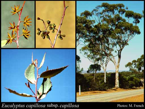 Photo of Eucalyptus capillosa Brooker & Hopper subsp. capillosa