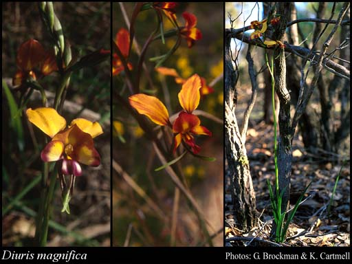 Photo of Diuris magnifica D.L.Jones