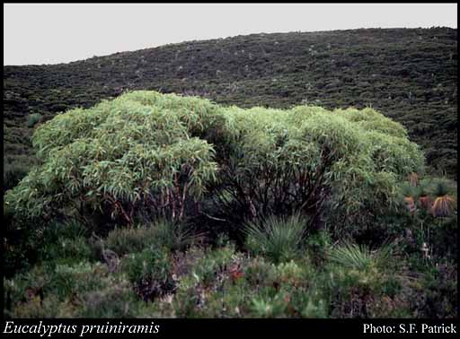Photo of Eucalyptus pruiniramis L.A.S.Johnson & K.D.Hill