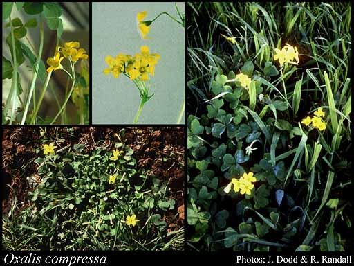 Photo of Oxalis compressa Thunb.