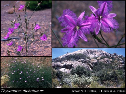 Photo of Thysanotus dichotomus (Labill.) R.Br.