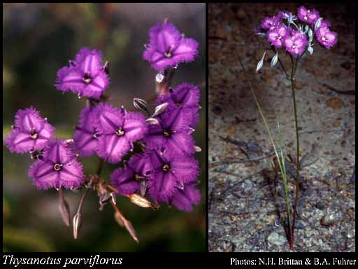 Photo of Thysanotus parviflorus Brittan