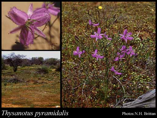 Photo of Thysanotus pyramidalis Brittan