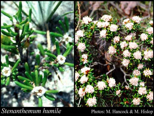 Photo of Stenanthemum humile Benth.