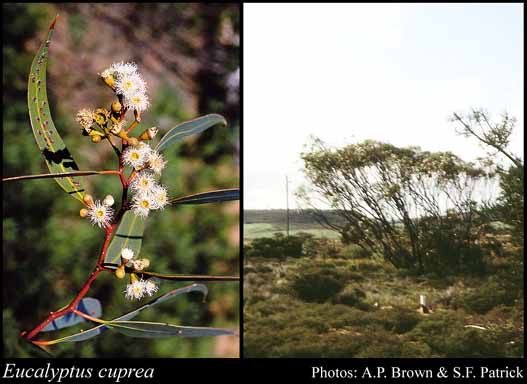 Photo of Eucalyptus cuprea Brooker & Hopper