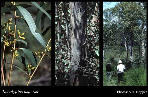 Photo of Eucalyptus aspersa Brooker & Hopper