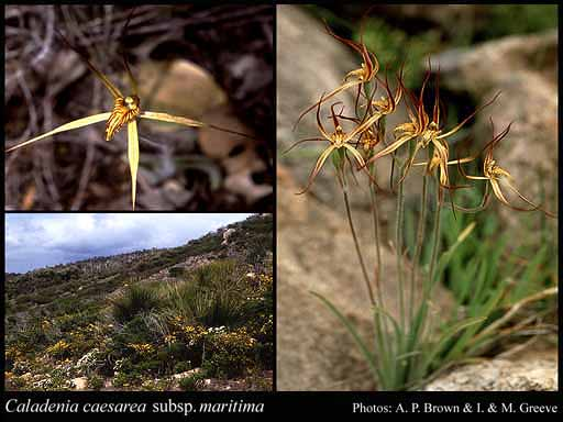 Photo of Caladenia caesarea subsp. maritima Hopper & A.P.Br.