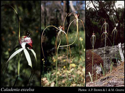 Photo of Caladenia excelsa Hopper & A.P.Br.