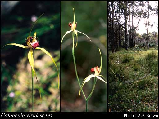 Photo of Caladenia viridescens Hopper & A.P.Br.