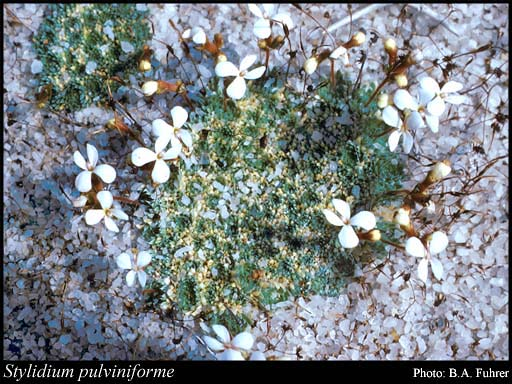 Photo of Stylidium pulviniforme Lowrie & Kenneally