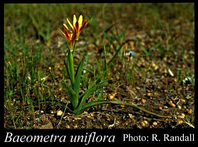 Photo of Baeometra uniflora (Jacq.) G.J.Lewis