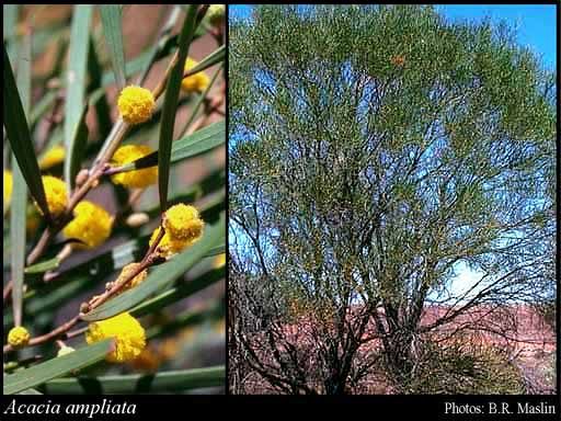 Photo of Acacia ampliata R.S.Cowan & Maslin