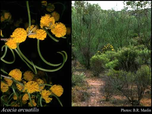 Photo of Acacia arcuatilis R.S.Cowan & Maslin