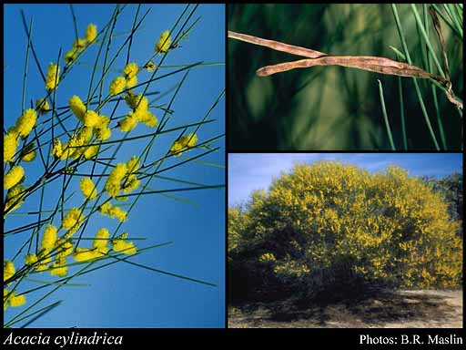 Photo of Acacia cylindrica R.S.Cowan & Maslin
