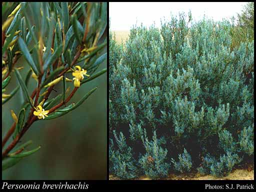 Photo of Persoonia brevirhachis P.H.Weston