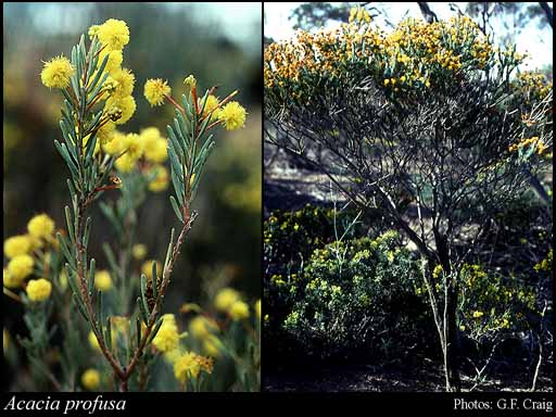Photo of Acacia profusa Maslin