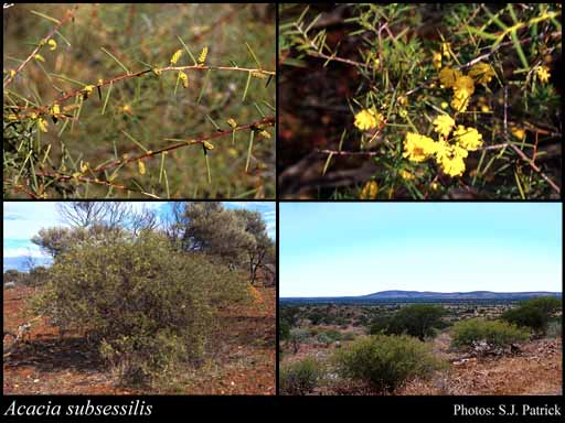 Photo of Acacia subsessilis A.R.Chapman & Maslin