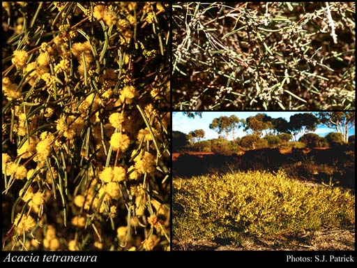 Photo of Acacia tetraneura Maslin & A.R.Chapman