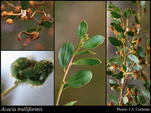 Photo of Acacia trulliformis R.S.Cowan & Maslin