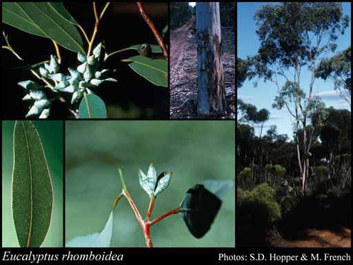 Photo of Eucalyptus rhomboidea Hopper & D.Nicolle