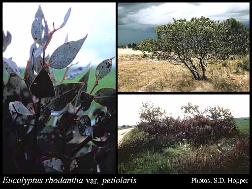 Photo of Eucalyptus rhodantha var. x petiolaris Blakely