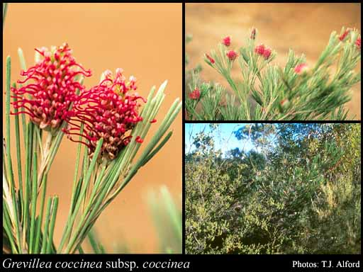 Photo of Grevillea coccinea Meisn. subsp. coccinea