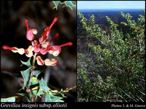 Photo of Grevillea insignis subsp. elliotii Olde & Marriott