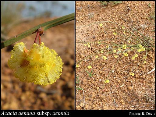Photo of Acacia aemula Maslin subsp. aemula