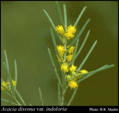 Photo of Acacia dissona var. indoloria R.S.Cowan & Maslin