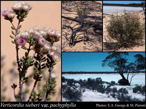 Photo of Verticordia sieberi var. pachyphylla A.S.George