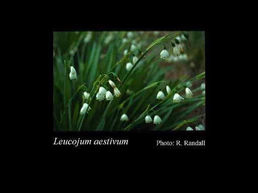 Photo of Leucojum aestivum L.