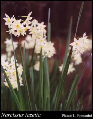 Photo of Narcissus tazetta L.