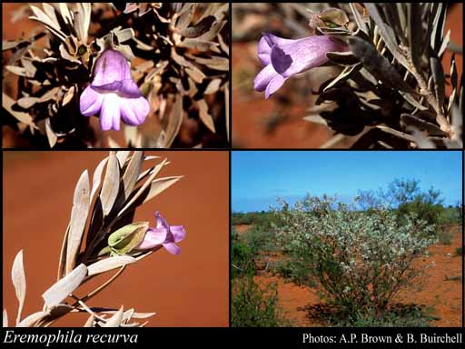 Photo of Eremophila recurva Chinnock