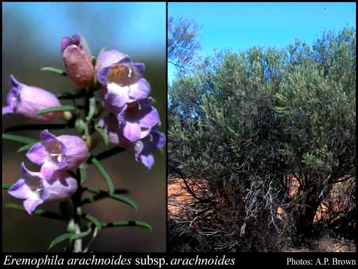 Photo of Eremophila arachnoides Chinnock subsp. arachnoides